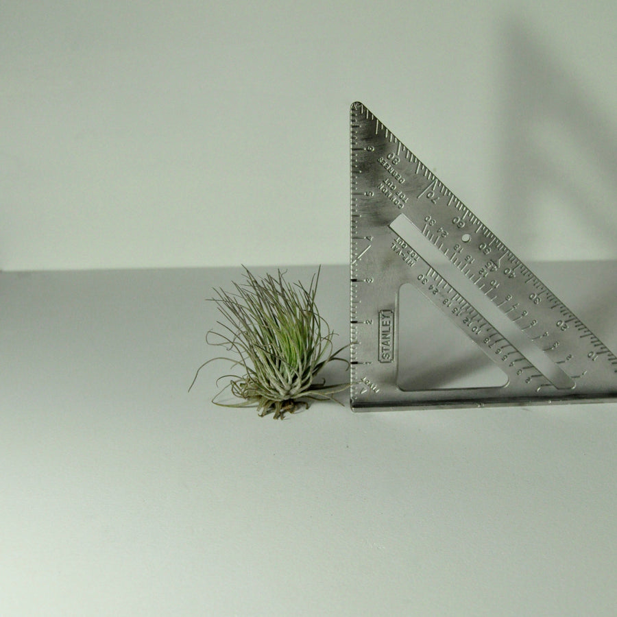 air plants oaxacana tillandsia house plants
