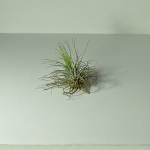 air plants oaxacana tillandsia indoor plants