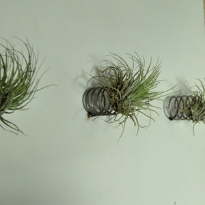 air plants oaxacana tillandsia wall mounted spring holder