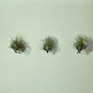 air plants oaxacana tillandsia wall mounted metal