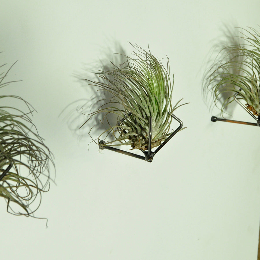 air plants oaxacana tillandsia wall planters