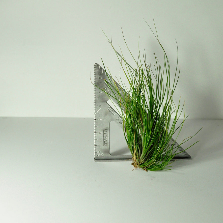 air plant setacea clump tillandsia large indoor plant