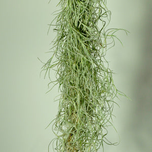 spanish moss air plant indoor plant tillandsia