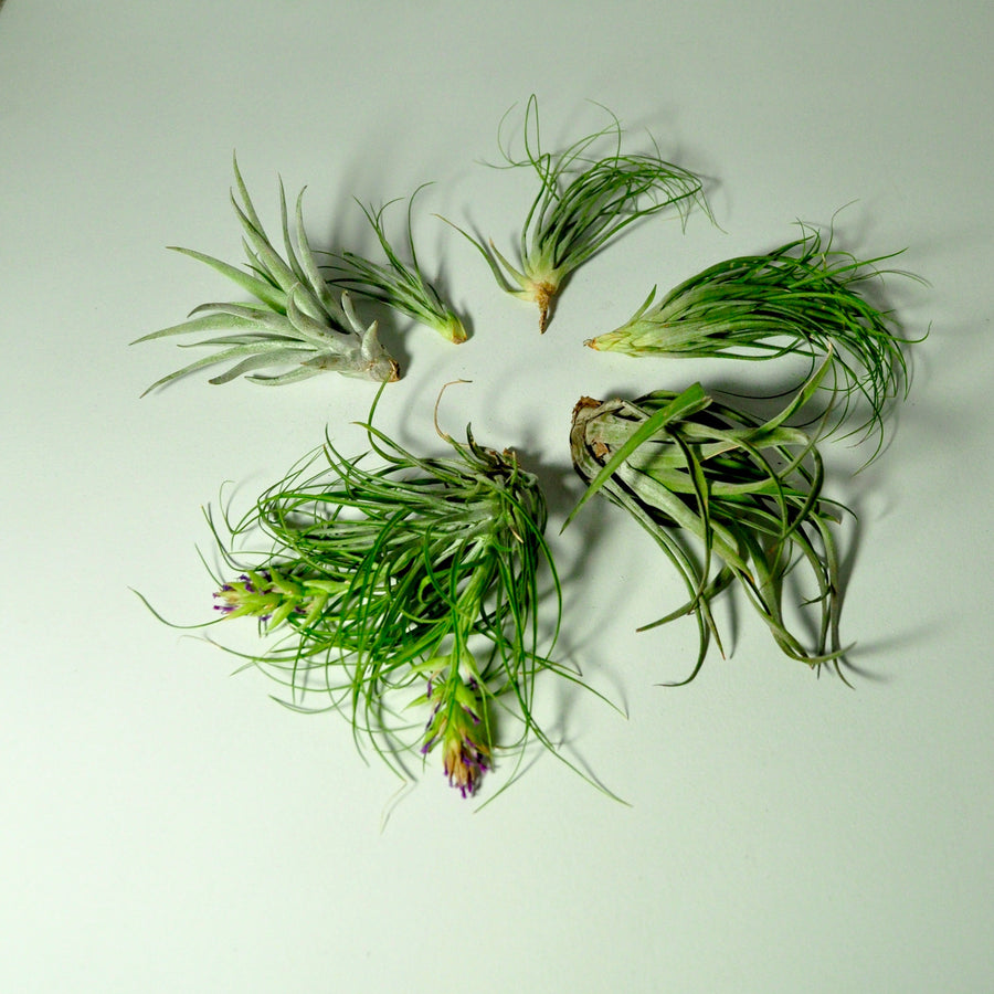 air plants for metal air plant holder tillandsia displays