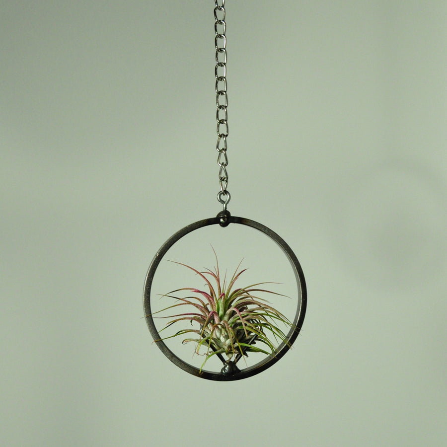 air plant ionantha guatemala pink hanging plant holder metal
