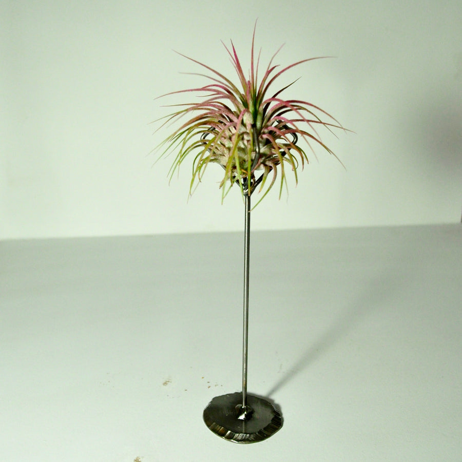 air plant ionantha guatemala pink metal display stand claw