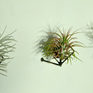 air plant ionantha guatemala pink wall mounted holder metal
