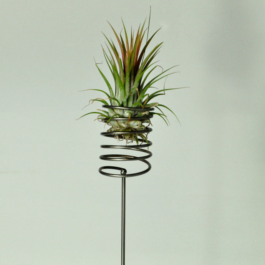 air plant ionantha rubra tillandsia metal spring stand