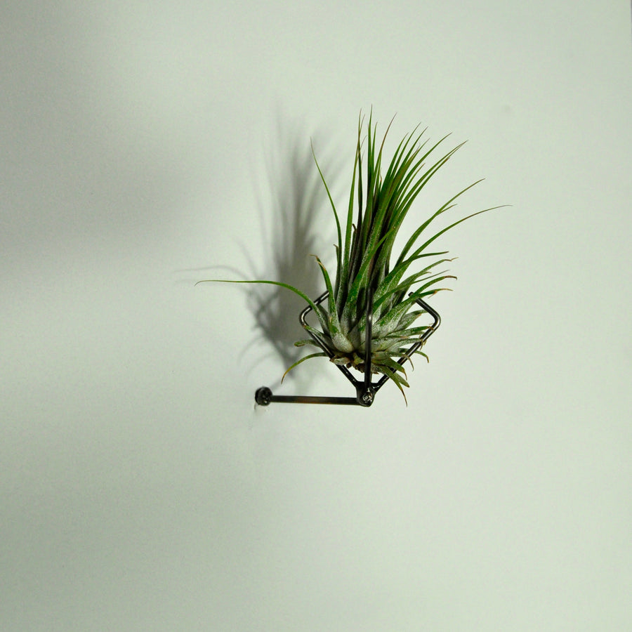 air plant ionantha rubra tillandsia wall mounted holder display
