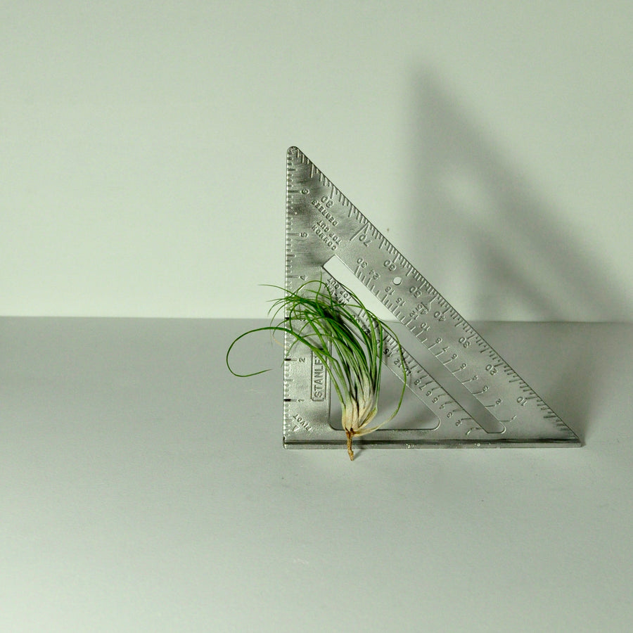 stricta air plant tillandsia indoor plants