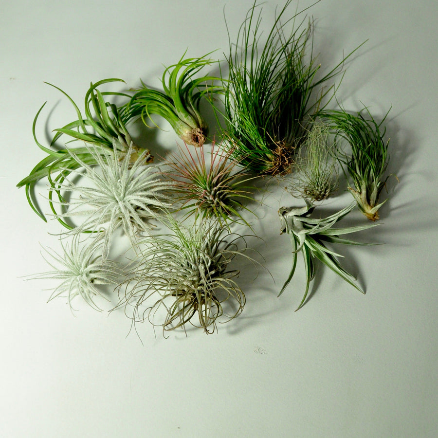 air plants tillandsia for vertical garden