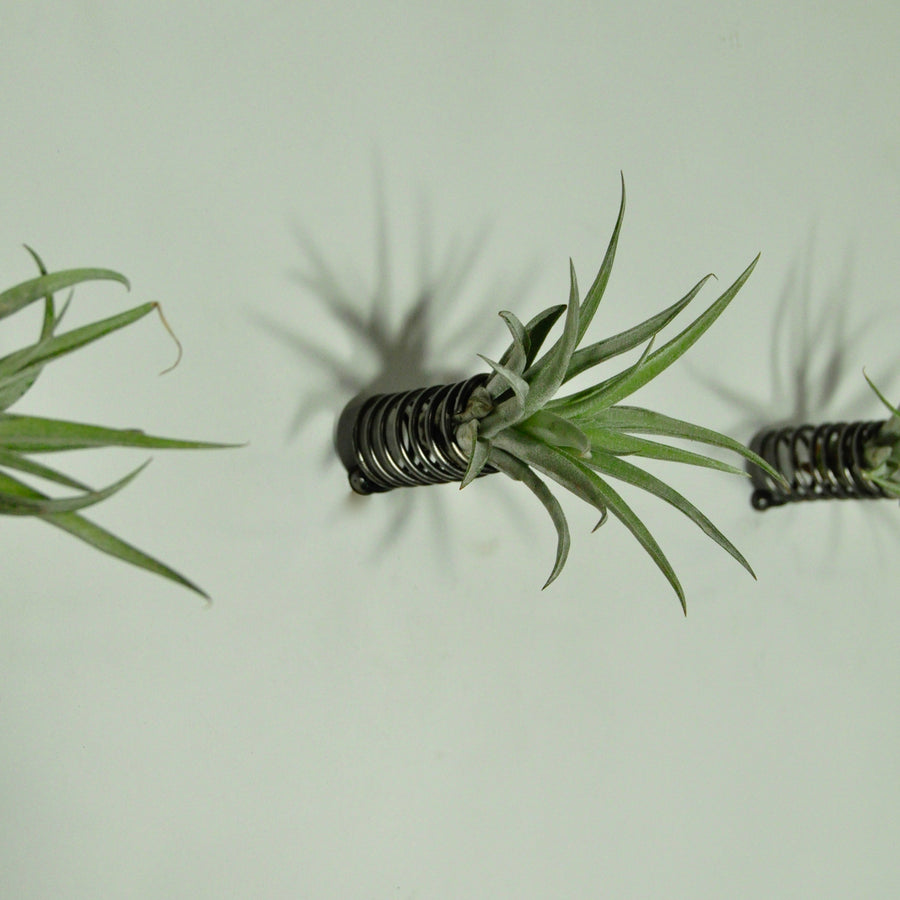 air plant holder wall mounted metal spring and plant