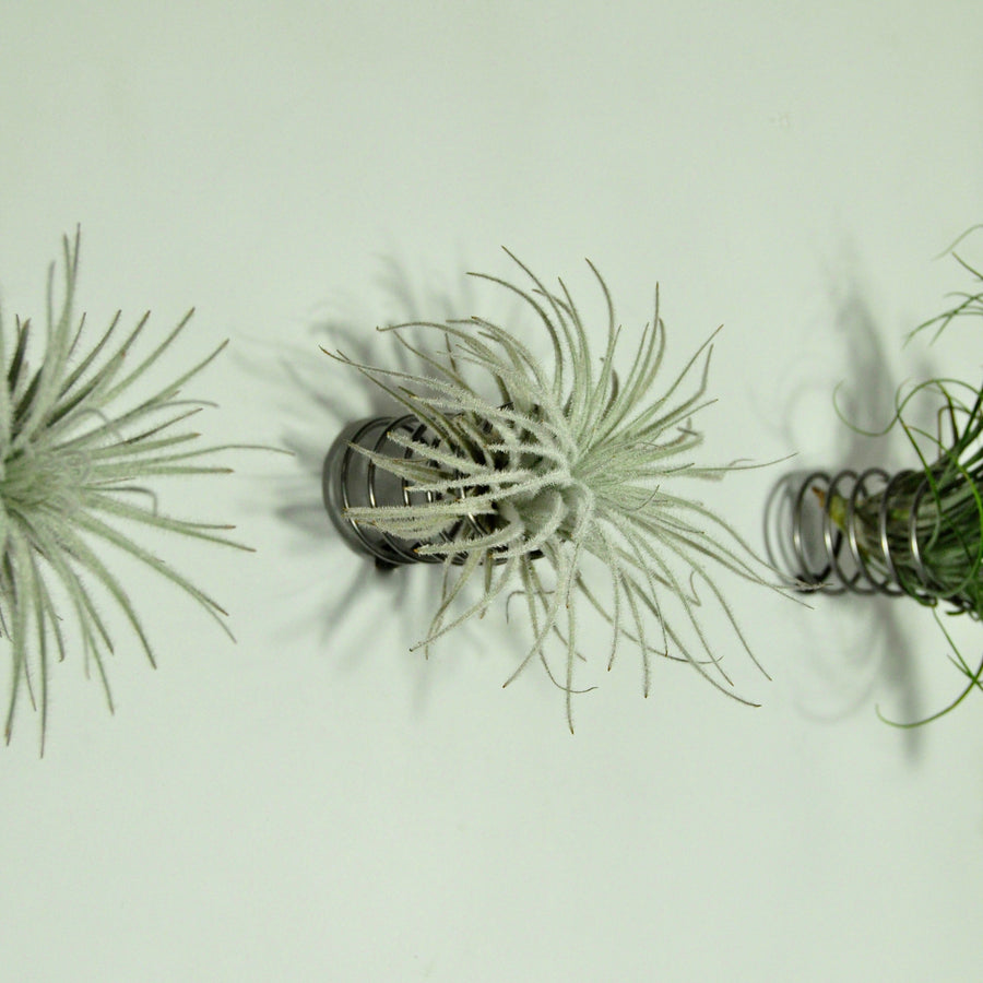 air plant holder wall mounted metal spring display