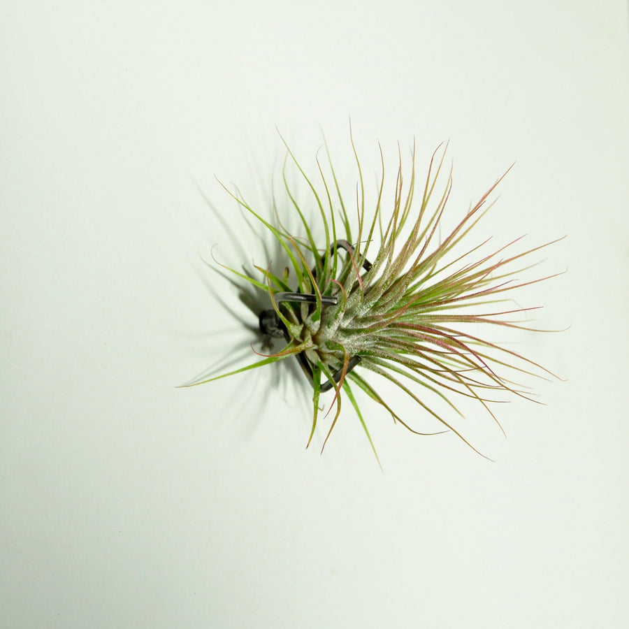 air plant ionantha guatemala pink wall mounted plant holder