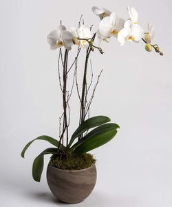 Double White Orchid