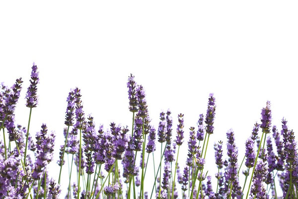 Lavender - What's in the bottle? A survey of commercial Lavender essential oils