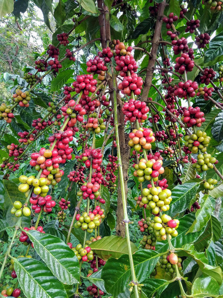 Arabica or Robusta Coffee Beans...The Difference!