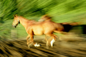 HORSES PANNING Wall Pictures