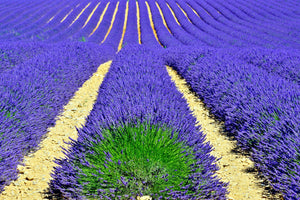 PROVENCE LAVENDER FIELDS Wall Pictures