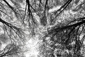 Wall Pictures - TREES B/W - ABC7331