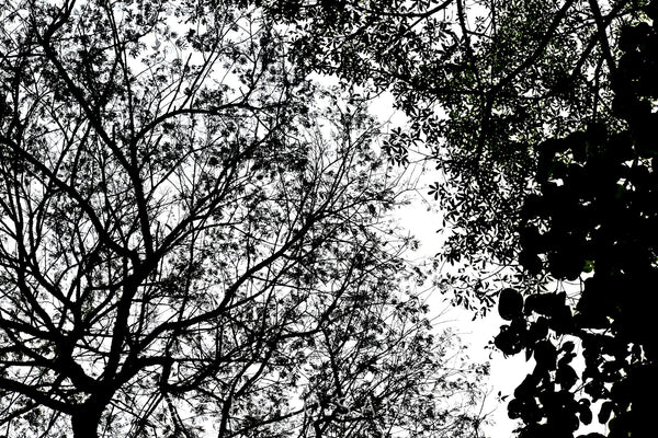 Wall Pictures - TREES B/W - BRA3217