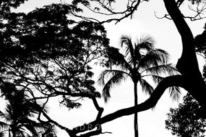Wall Pictures - TREES B/W - BRA3621