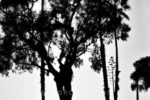Wall Pictures - TREES B/W - CAL1609