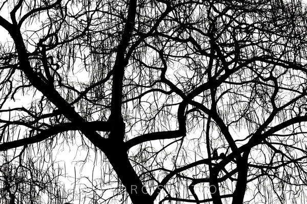 Wall Pictures - TREES B/W - DOL6430