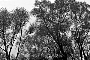 Wall Pictures - TREES B/W - DPO5543