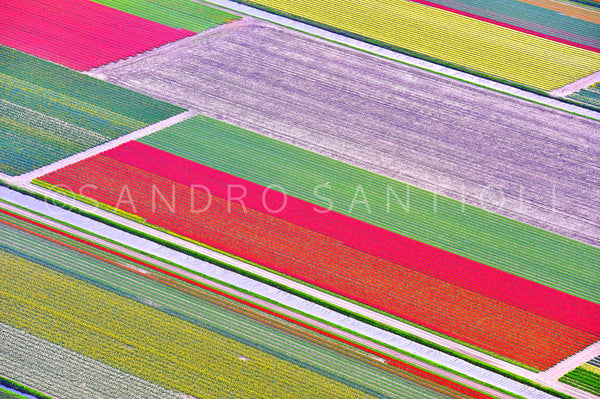 Wall Pictures - Holland, Tulips Fields - HOL3419
