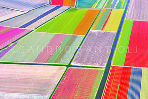 Wall Pictures - Holland, Tulips Fields - HOL3451