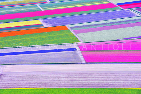 Wall Pictures - Holland, Tulips Fields - HOL3548