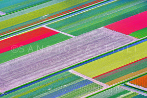 Wall Pictures - Holland, Tulips Fields - HOL3601
