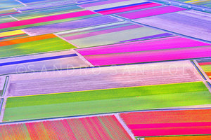 Wall Pictures - Holland, Tulips Fields - HOL3635