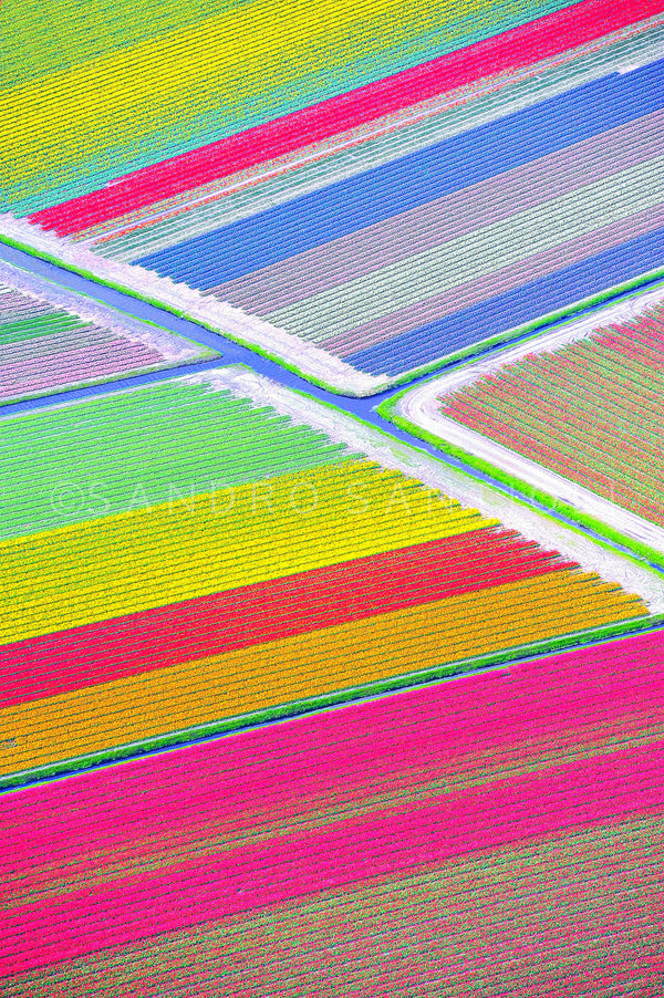 Wall Pictures - Holland, Tulips Fields - HOL3693