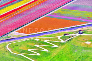Wall Pictures - Holland, Tulips Fields - HOL3700