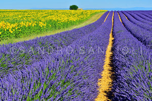 Wall Pictures - PROVENCE Lavender Fields - PRO3187