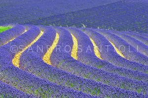 Wall Pictures - PROVENCE Lavender Fields - PRO3265