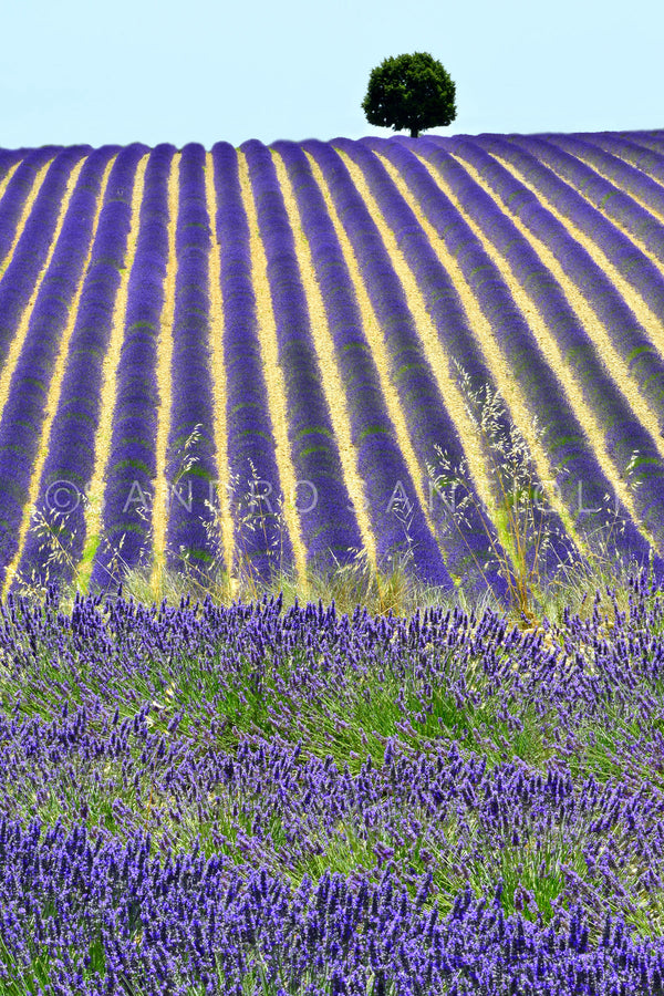 Wall Pictures - PROVENCE Lavender Fields - PRO3268