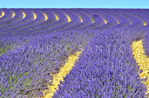 Wall Pictures - PROVENCE Lavender Fields - PRO3271
