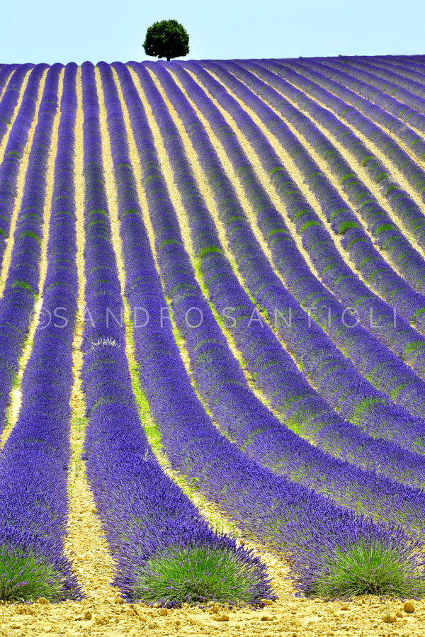 Wall Pictures - PROVENCE Lavender Fields - PRO3273