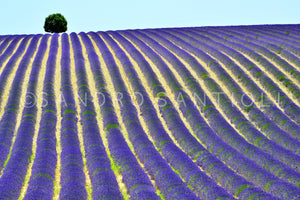 Wall Pictures - PROVENCE Lavender Fields - PRO3280