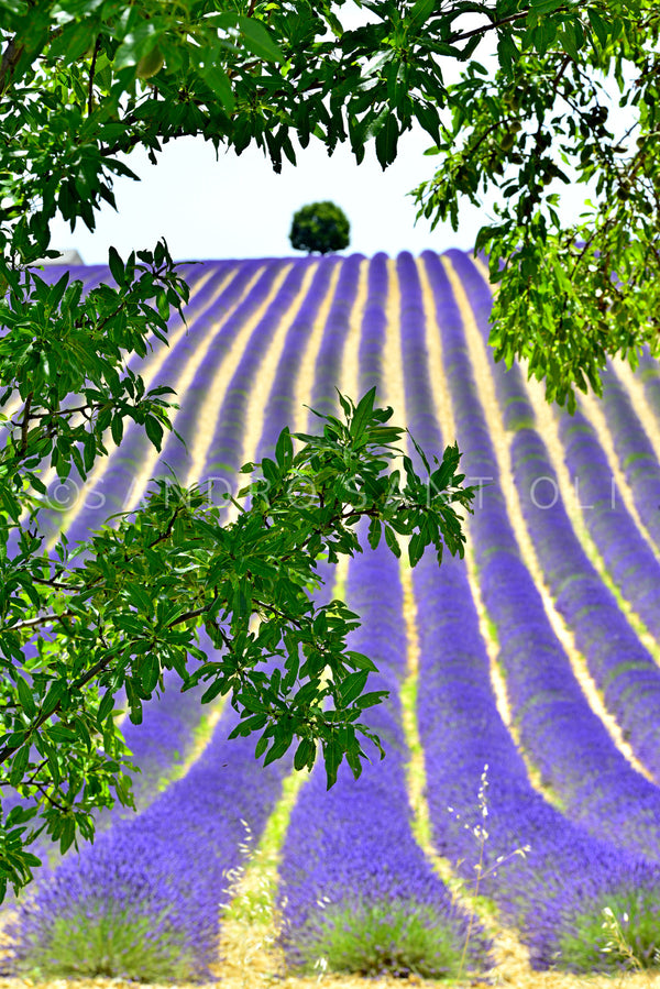 Wall Pictures - PROVENCE Lavender Fields - PRO3284