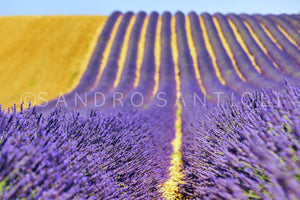 Wall Pictures - PROVENCE Lavender Fields - PRO3595