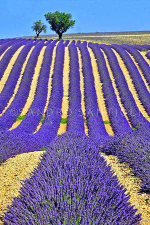 Wall Pictures - PROVENCE Lavender Fields - PRO3646