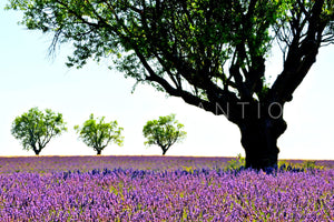 Wall Pictures - PROVENCE Lavender Fields - PRO3657