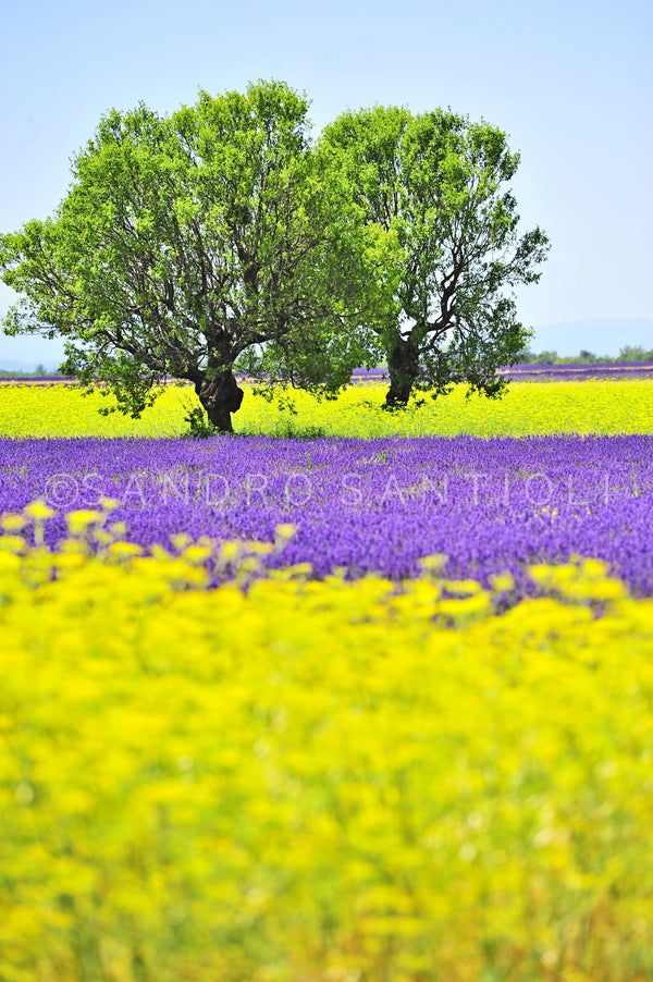 Wall Pictures - PROVENCE Lavender Fields - PRO8760
