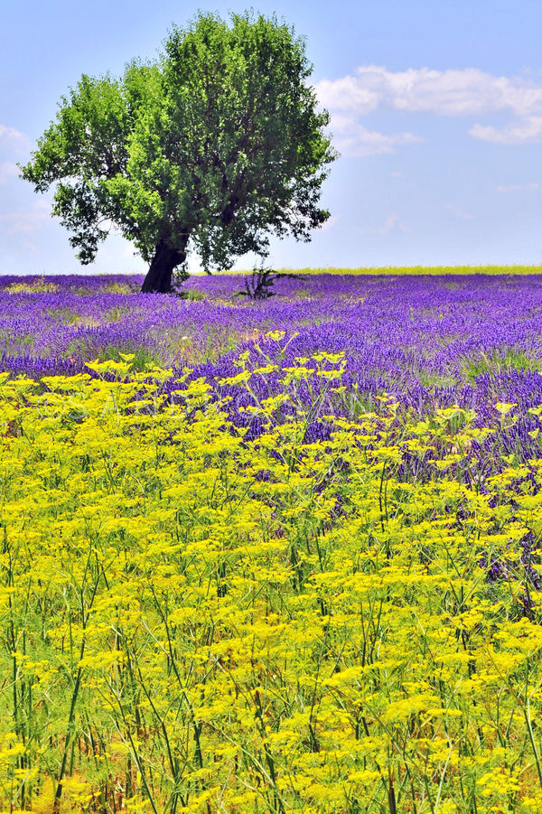 Wall Pictures - PROVENCE Lavender Fields - PRO8768