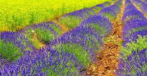 Wall Pictures - PROVENCE Lavender Fields - PRO8773