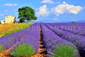 Wall Pictures - PROVENCE Lavender Fields - PRO8813